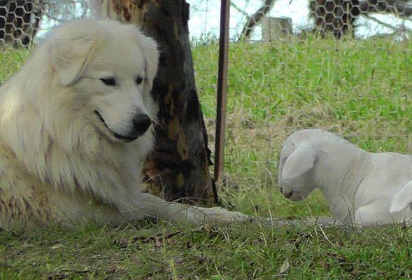 mum and lamb