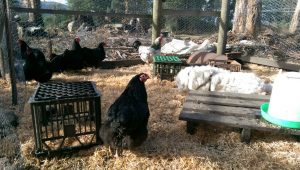 ruby-with-chooks